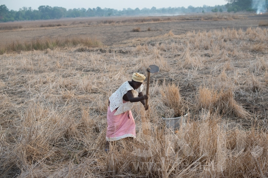 Africa;Afrika;Agriculture;Farmer;Grain;Harvest;L'Afrique;Other Keywords;Rice;Senegal;Swing;Sénégal;Woman;[mfv];agriculteur;agricultor;agricultora;agricultrice;agricultura;arroz;balancement, arc, coup;balanço;balançoire;colheita;columpio;cosecha;femme;grain;granjera;granjero;grano;grão;moisson;mujer;mulher;riz;África;Африка;Сенегал;ブランコ;収穫;塞内加尔;女人;女性;搖擺;收成;穀物;米;農夫;農業;非洲;세네갈;아프리카