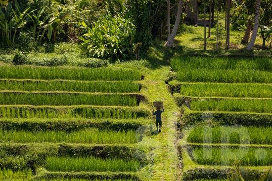 Agriculture;Farmer;Landscape;Man;PEOPLE;PLACE;Rice Field;Rural;Scenic;TITLE;agriculteur;agricultor;agricultora;agricultrice;agricultura;cênica;cênico;escénica;escénico;granjera;granjero;hombre;homem;homme;paisagem;paisaje;paysage;pittoresque;ランドスケープ;名所;地形;田舎;男人;男性;農夫;農業;郊區;風景