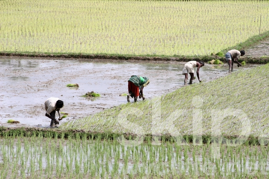 August 2008;Nationals;Cultural activities;Female: Woman;Male: Man, Men;group working in a rice field;agriculture;farming;Bangladesh