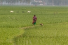 Agriculture;Animal;Asia;Asian;