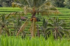 Agriculture;Coconut;Food;Fruit