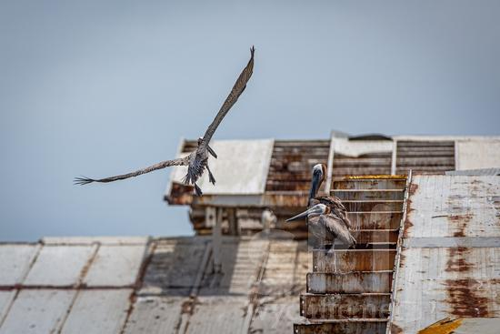 Central America;Panama City;animal;fly;pelicans;street photography