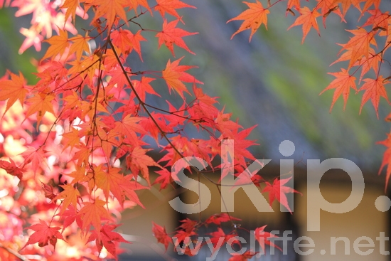 Japanese maple leaves;tree;shadow;light;traditional house;desktop;wall paper;red;yellow;楓;カエデ;紅葉;赤;紅;黄色;至近距離