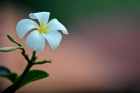 Flower;Frangipani;Tropical