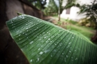 Banana-leaf;CAR;plant;rain-dro