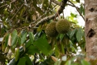 Durian;Food;Fruit;comida;fruta