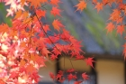 Japanese-maple-leaves;tree;sha