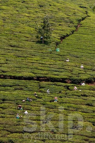 Agriculture;Asia;Asian;Asien;COUNTRY;Inde;India;Indian;Indien;Indienne;L\'Asie;Landscape;Mountain;PEOPLE;PLACE;Rural;Scenic;Tea;Tea Plantation;Woman;[hin];agricultor;agricultora;agricultura;asiatique;asiática;asiático;cênica;cênico;escénica;escénico;femme;indiana;indiano;indio;montagne;montanha;montaña;mujer;mulher;nature;paisagem;paisaje;paysage;pittoresque;Ásia;Índia;Азия;Индия;アジア人;インド人;ランドスケープ;亚洲;亞洲人;印度;印度人;名所;地形;女人;女性;山;田舎;農業;郊區;風景;아시아;인도