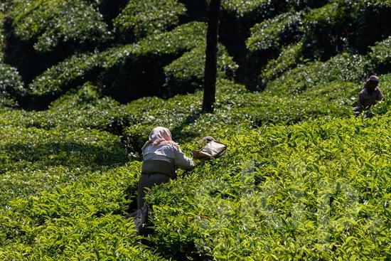 Agriculture;Asia;Asian;Asien;COUNTRY;Inde;India;Indian;Indien;Indienne;L\'Asie;Mountain;PEOPLE;PLACE;Rural;Tea;Tea Plantation;Woman;[hin];agricultor;agricultora;agricultura;asiatique;asiática;asiático;femme;indiana;indiano;indio;montagne;montanha;montaña;mujer;mulher;nature;Ásia;Índia;Азия;Индия;アジア人;インド人;亚洲;亞洲人;印度;印度人;女人;女性;山;田舎;農業;郊區;아시아;인도