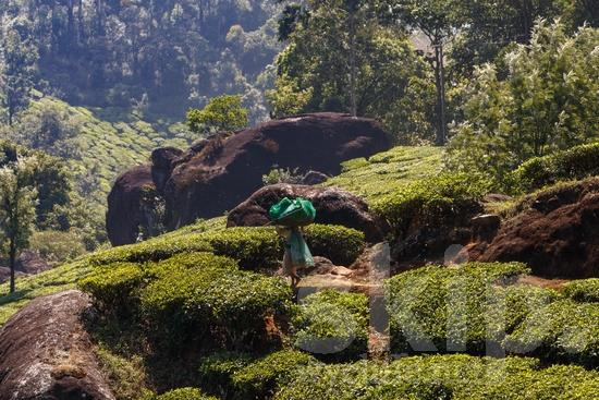 Agriculture;Asia;Asian;Asien;COUNTRY;Harvest;Inde;India;Indian;Indien;Indienne;L\'Asie;Landscape;Mountain;PEOPLE;PLACE;Rural;Scenic;Tea;Tea Plantation;Woman;[hin];agricultor;agricultora;agricultura;asiatique;asiática;asiático;colheita;cosecha;cênica;cênico;escénica;escénico;femme;indiana;indiano;indio;moisson;montagne;montanha;montaña;mujer;mulher;nature;paisagem;paisaje;paysage;pittoresque;Ásia;Índia;Азия;Индия;アジア人;インド人;ランドスケープ;亚洲;亞洲人;印度;印度人;収穫;名所;地形;女人;女性;山;收成;田舎;農業;郊區;風景;아시아;인도