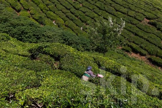 Agriculture;Asia;Asian;Asien;COUNTRY;Inde;India;Indian;Indien;Indienne;L\'Asie;Landscape;Mountain;PEOPLE;PLACE;Rural;Scenic;Tea;Tea Plantation;Woman;[hin];agricultor;agricultora;agricultura;asiatique;asiática;asiático;cênica;cênico;escénica;escénico;femme;indiana;indiano;indio;montagne;montanha;montaña;mujer;mulher;paisagem;paisaje;paysage;pittoresque;Ásia;Índia;Азия;Индия;アジア人;インド人;ランドスケープ;亚洲;亞洲人;印度;印度人;名所;地形;女人;女性;山;田舎;農業;郊區;風景;아시아;인도