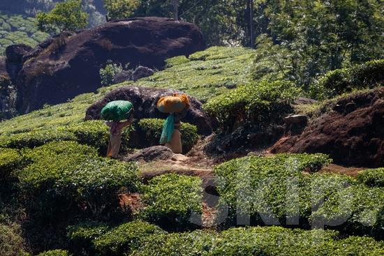 Agriculture;Asia;Asian;Asien;COUNTRY;Harvest;Inde;India;Indian;Indien;Indienne;L\'Asie;Landscape;Mountain;PEOPLE;PLACE;Rural;Scenic;Tea;Tea Plantation;Woman;[hin];agricultor;agricultora;agricultura;asiatique;asiática;asiático;colheita;cosecha;cênica;cênico;escénica;escénico;femme;indiana;indiano;indio;moisson;montagne;montanha;montaña;mujer;mulher;paisagem;paisaje;paysage;pittoresque;Ásia;Índia;Азия;Индия;アジア人;インド人;ランドスケープ;亚洲;亞洲人;印度;印度人;収穫;名所;地形;女人;女性;山;收成;田舎;農業;郊區;風景;아시아;인도